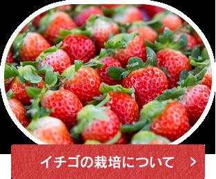 イチゴの栽培について